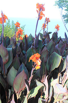 Cannas A Great Tropical Looking Plant