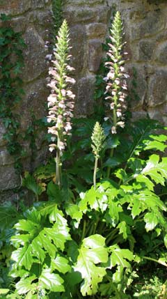 Acanthus mollis a great plant for mediterranean style gardens for Plant with tall spikes of yellow flowers