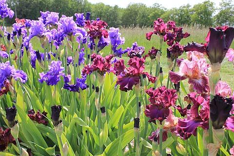 Iris a very popular garden plant