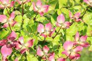 pink-flowering-cornus
