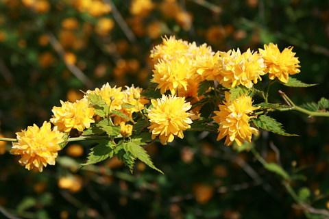 Kerria shrubs in the garden