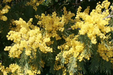 mimosa trees in the garden