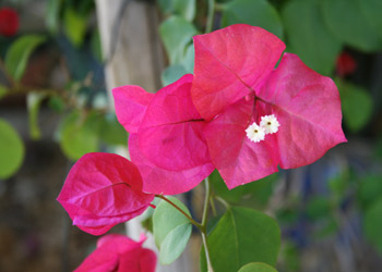 Photo of Bougainvillea