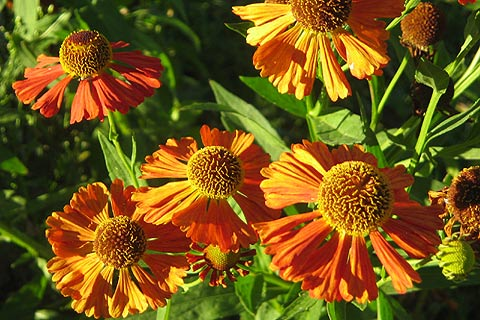 Photo of Heleniums