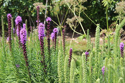 Photo of Liatris