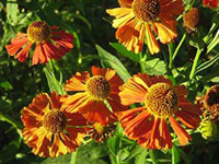 helenium growing in my French garden