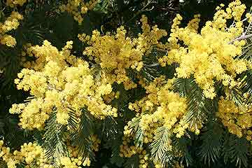 Mimosa a garden guide to mimosa acacia dealbata acacia dealbata mimosa gorgeous yellow flowers mightylinksfo