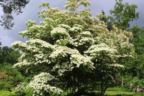 flowering dogwood, Cornus kuosa