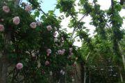 rosery1