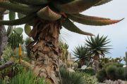 giant-cacti