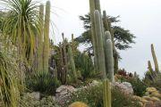 tall-cacti