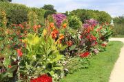 canna-lilies