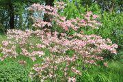 flowering-cornus