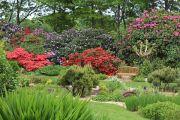 rhodedendrons