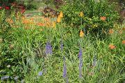 kniphofia-day-lily