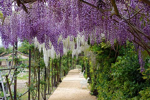 Snow Fountain Weeping Cherry further Steel Gates Wrought Iron Gates also Barberry Types Medicinal Uses Nutrition Benefits And Side Effects further Watch in addition Feature Spring Flowering Shrub Spirea. on garden design pictures for small gardens