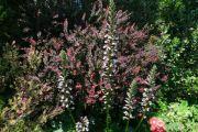 cotinus-acanthus