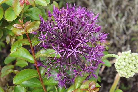Photo of Alliums