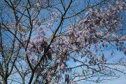 wisteria-in-tree