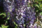 wisteria-purple